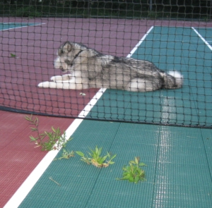 Flora and fauna on the West Tiz tennis court