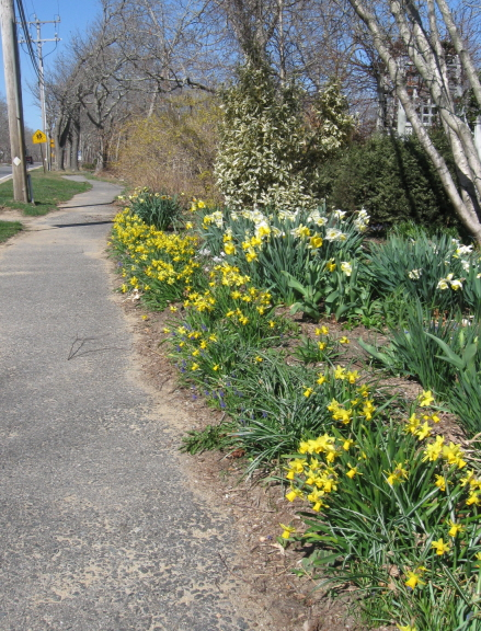 Daffodils along the bike path in front of Vineyard Gardens, WT