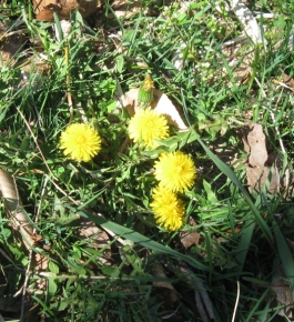 Dandelions are lagging behind the other yellows, or maybe the weedkillers have got 'em.