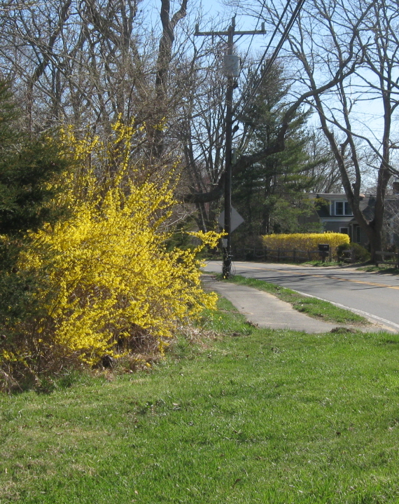 Almost full-blown forsythia, approaching North Tisbury on State Road