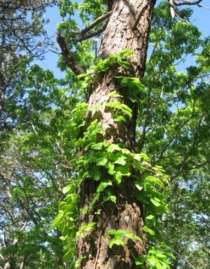 Strivin' ivy