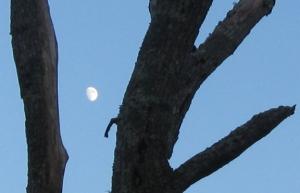 Moon in crook of dead tree, Waskosim's Rock Reservation