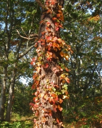Poison ivy tree, early October