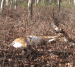 Dead deer in the woods