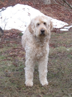 T-beau the labradoodle