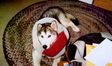 Trav was a conehead after he got neutered at seven months. He thought flipping his food dish into the cone was a good game.