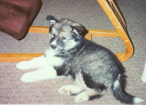 Puppy Rhodry soon after he moved in with me, at about six weeks