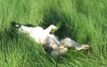 Rolling in the grass is fun, and cool. Watch out for ticks.