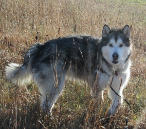 The title character of Wolfie is based on my canine roommate, Travvy.