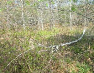 Dying birch