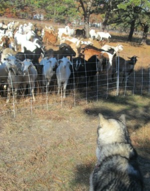 Dog watches goats.