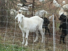 20161117-white-goat
