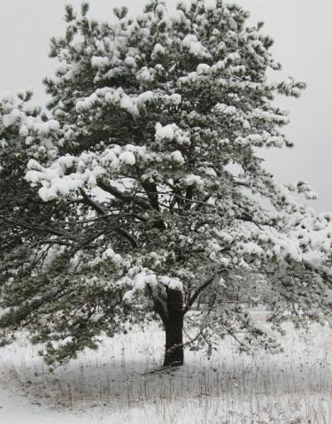 20170106-snowy-fir