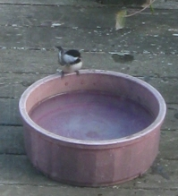 bird on water dish