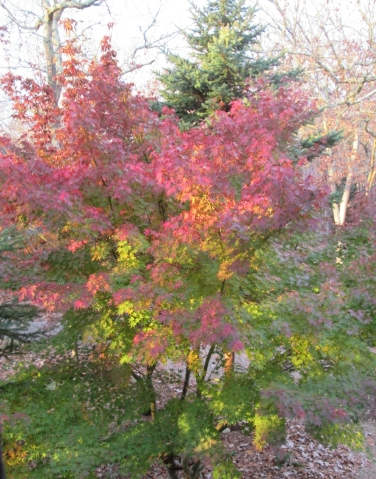 tree with reddening foliage