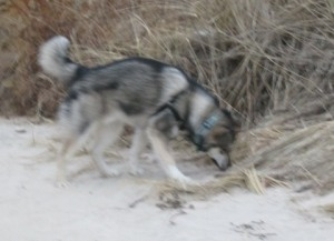 dog sniffing beach grass